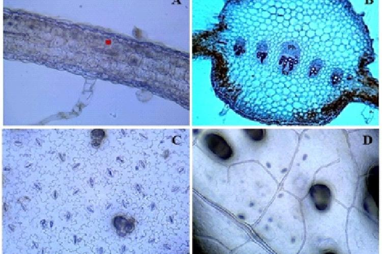 A: T.S. of Lamina ( Palisade cells); B: T.S. of Midrib (Ph- Phloem, Xy- Xylem); C: Stomata(Lower Epidermis); D: Veinlet in young leaf